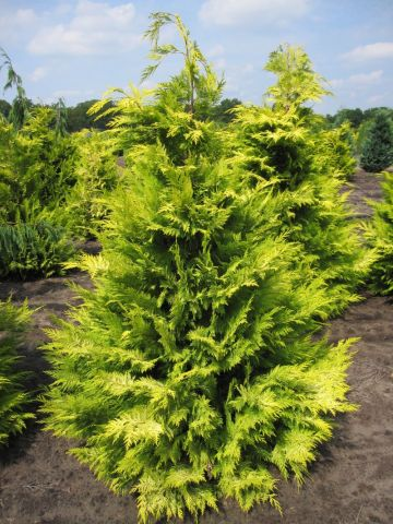 Кипарисовик lawsoniana Golden Wonder (I)